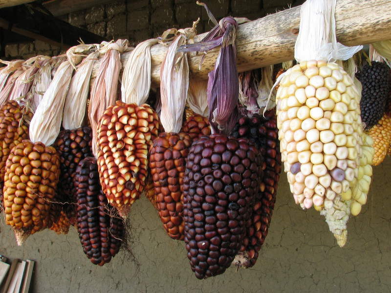 corn (Peru 2009, near Huaraz (3090m.))