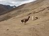 Lama glama (Lama) (Peru 2009, Nevado Ausangate)