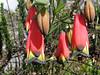 Liliaceae: Bomarea dulcis (Peru 2009, Cordillera Blanca)
