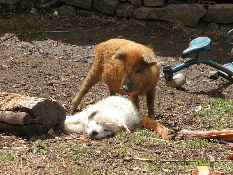 Young pig and dog (Peru 2009, Cordillera Blanca)