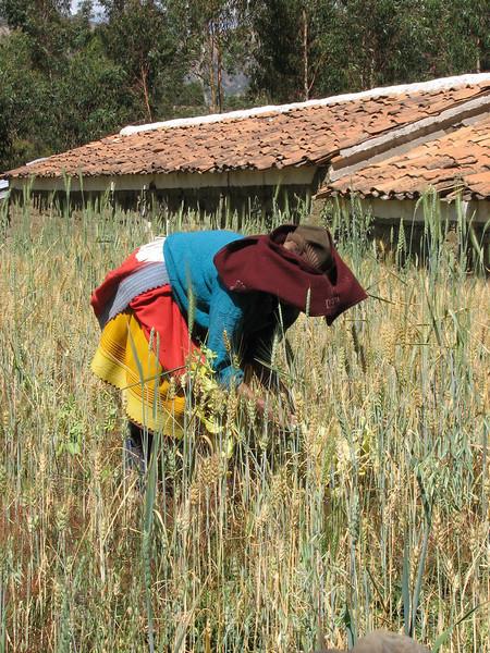 working in the grain (Peru 2009, near Huaraz (3090m.))