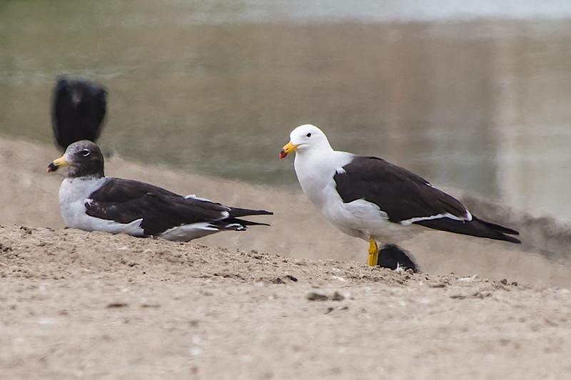 Belcher's Gulls-310063