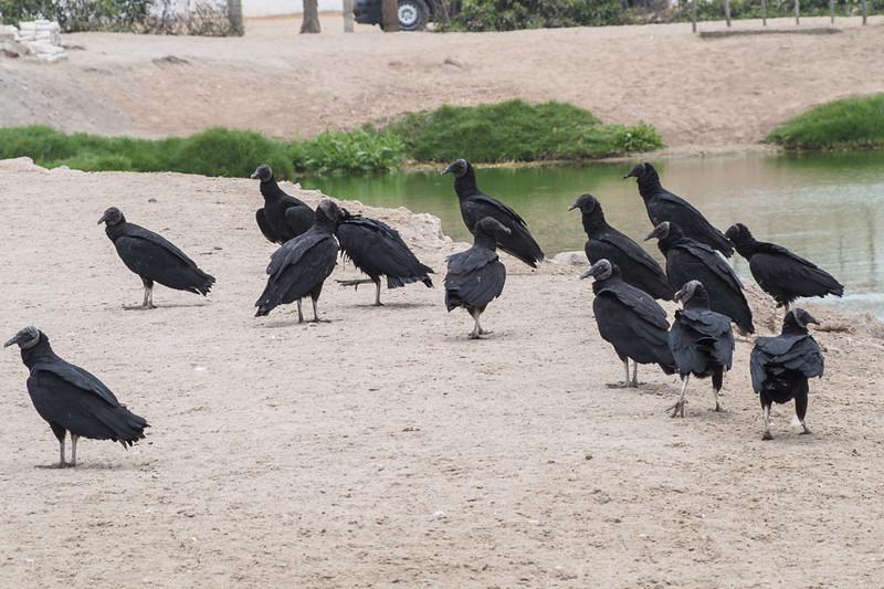 Blsck Vultures-310068