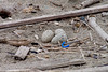 Oystercatchers' Nest-310044