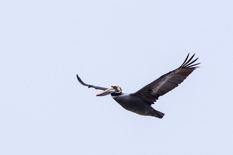 Peruvian Pelican-310066