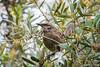 Long-tailed Mockingbird-010123