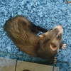 CuteFerret