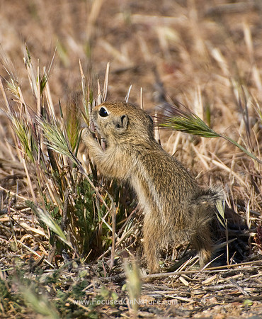 San Joaquin Antelope Squirrel Grazing