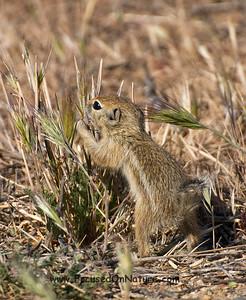 San Joaquin Antelope Squirrel Grazing