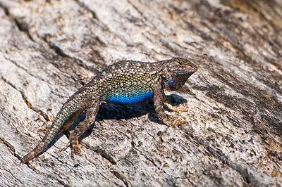 Western Fence Lizard Displaying