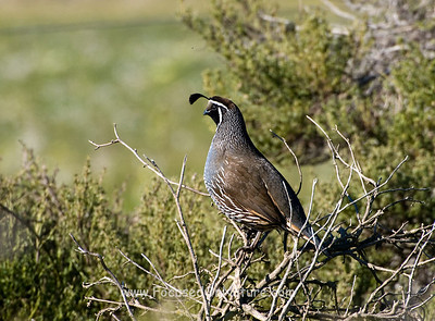 California Quail (male)