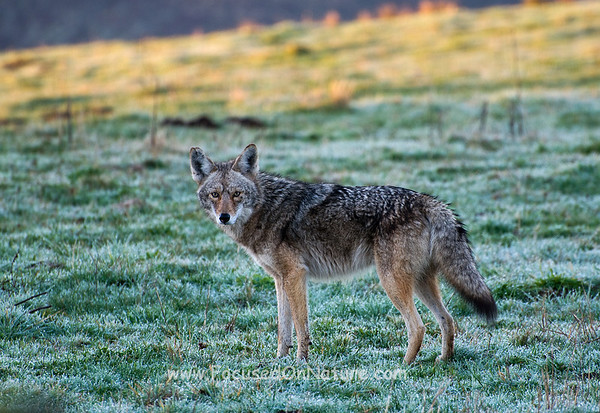 Coyote at Dawn
