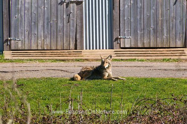 Coyote Waiting at the Barns