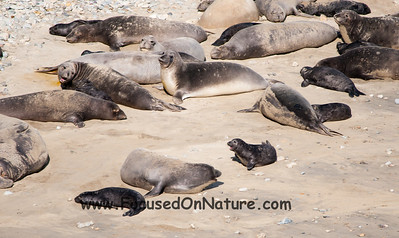 Elephant Seals with Babies