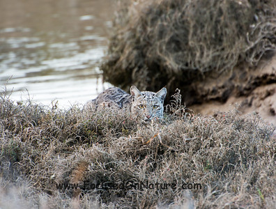 Bobcat at Schooner Bay