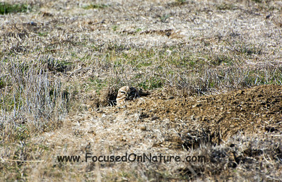 Burrowing Owl, Davis California