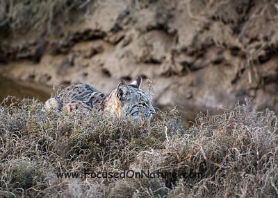 Bobcat at Schooner Bay