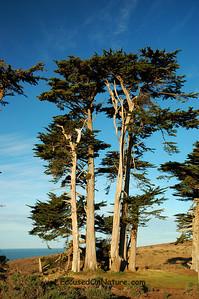 Pierce Point Trees