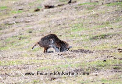 Bobcat Pouncing - 2