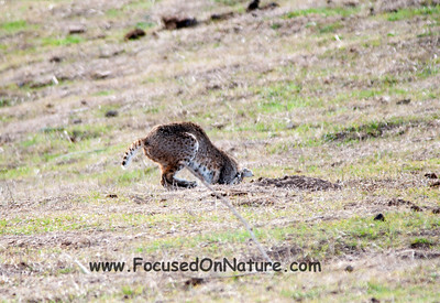 Bobcat Pouncing - 3