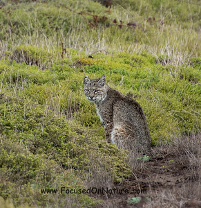 Bobcat Ready to Hunt