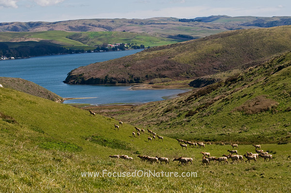 Tule Elk and Tomales Bay