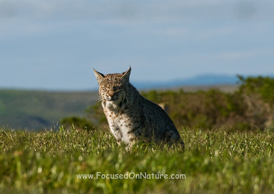 Bobcat Sunning