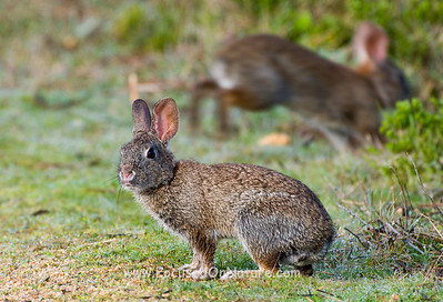 Brush Rabbit and Shy Friend