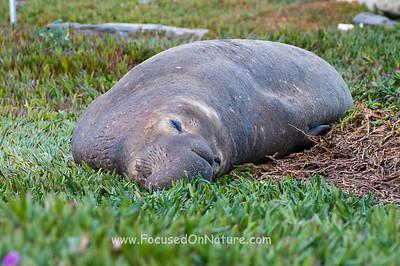 Resting Elephant Seal
