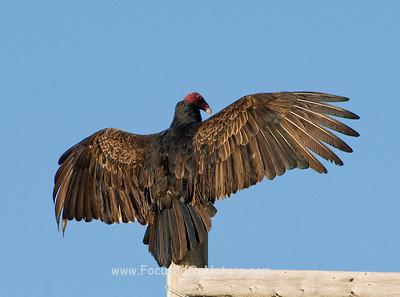 Vulture Sunning