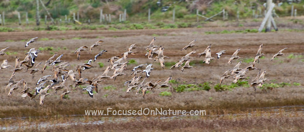 Marbled Godwits and Willets in Flight