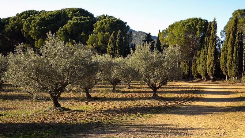 La Provence, ses oliviers, ses pins et ses cyprès.