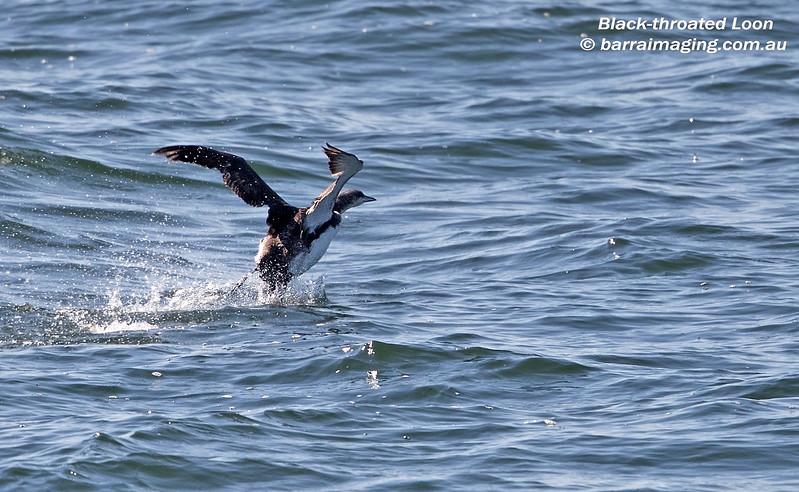 Black-throated Loon