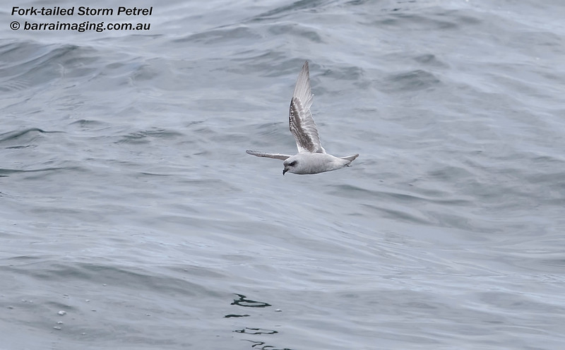 Fork-tailed Storm Petrel