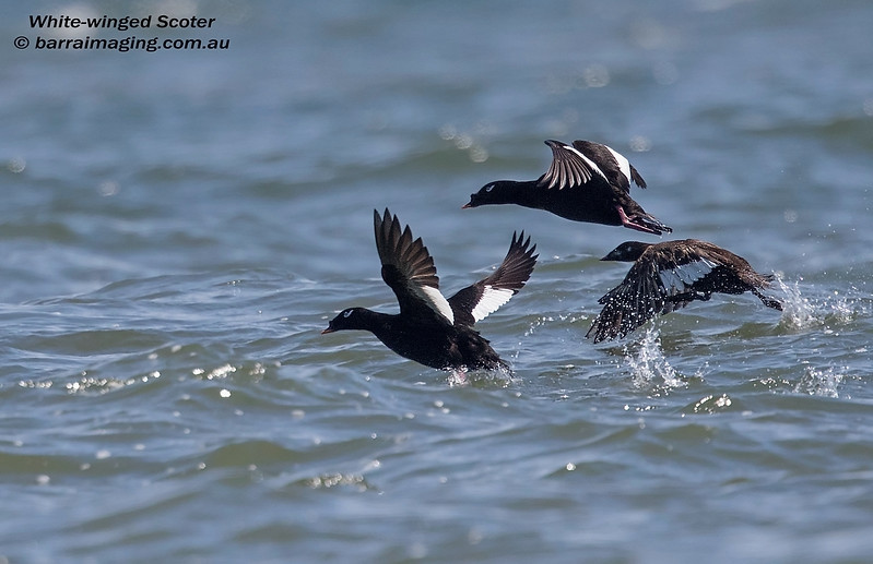 White-winged Scoter male & female