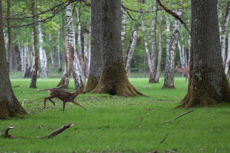Run Bambi Run!