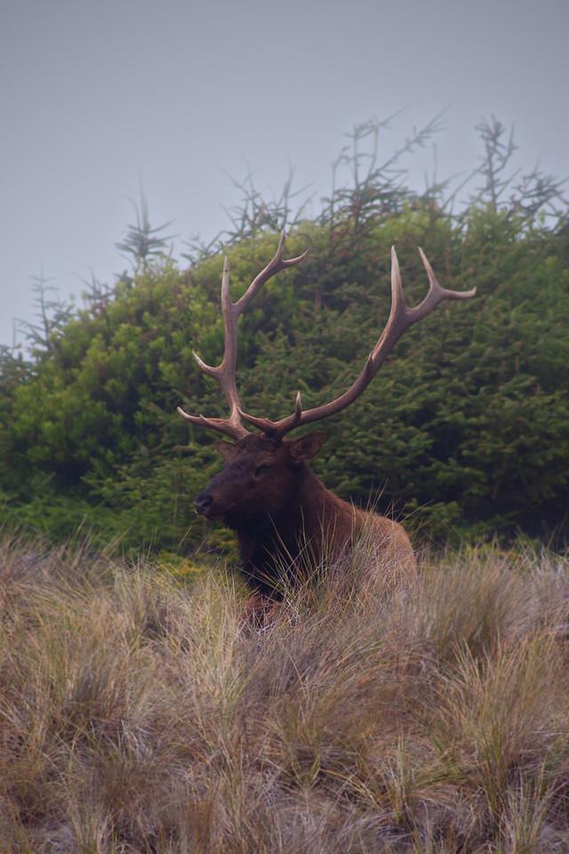 Roosevelt Elk, Prairie Creek State Park