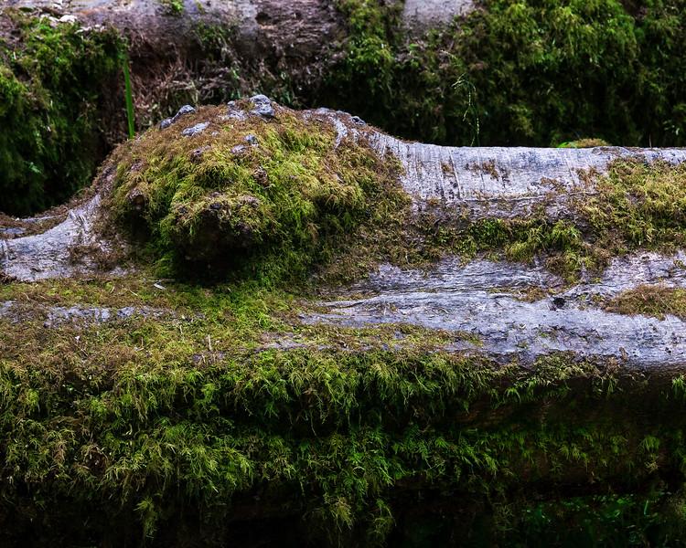 Fallen Giant, Fern Canyon