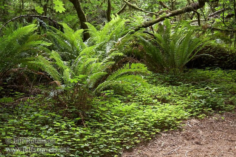 Backlit ferns & foliage (6/30/2008, Stout Grove loop trail, Jedediah Smith Redwoods SP, Redwoods trip)