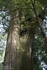 Multiple Coastal Redwoods grown into one tree (6/30/2008, Howland Hill Road, Jedediah Smith Redwoods SP, Redwoods trip)