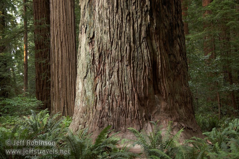 Textured bark of a Coastal Redwood (6/30/2008, Stout Grove loop trail, Jedediah Smith Redwoods SP, Redwoods trip)