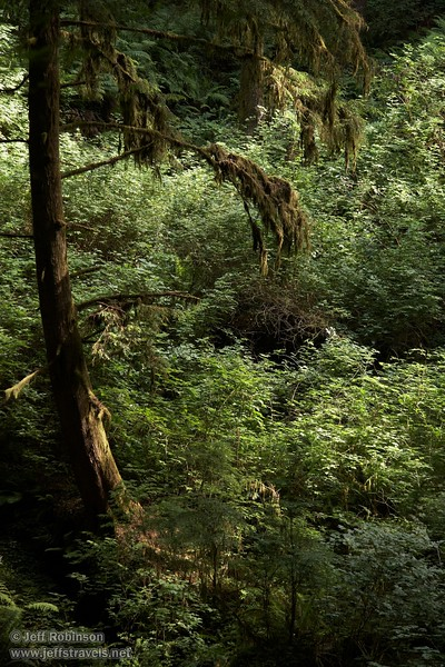 Green foilage and small Coastal Redwood (6/30/2008, Howland Hill Road, Jedediah Smith Redwoods SP, Redwoods trip)