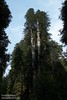 Tall Coastal Redwoods in the sun, seen from the parking area for the Boy Scott Tree Trail (6/30/2008, Howland Hill Road, Jedediah Smith Redwoods SP, Redwoods trip)