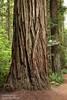 Distinctive bark of a Coastal Redwood (6/30/2008, Stout Grove loop trail, Jedediah Smith Redwoods SP, Redwoods trip)