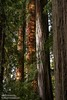 Color contrast of Coastal Redwoods in sun & shade (6/30/2008, Stout Grove loop trail, Jedediah Smith Redwoods SP, Redwoods trip)