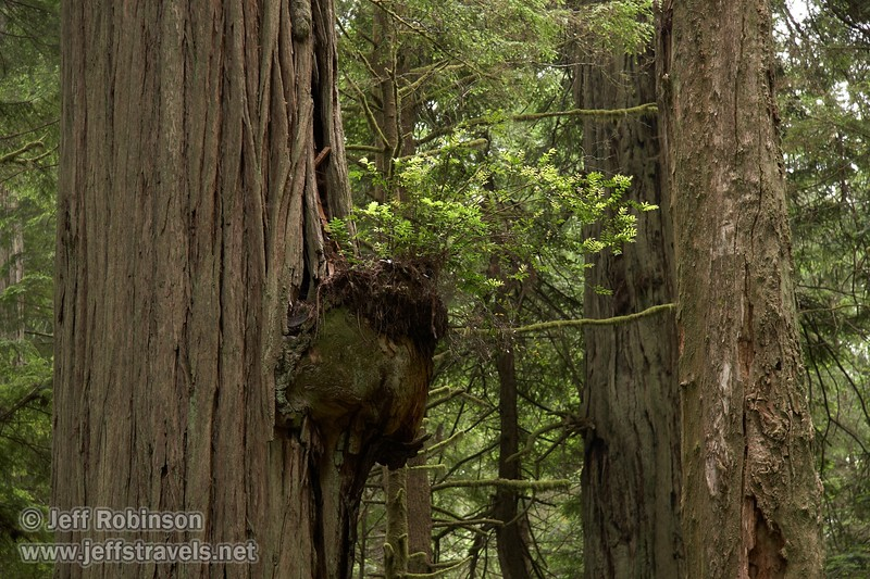 Growth on a Coastal Redwood (6/30/2008, Howland Hill Road, Jedediah Smith Redwoods SP, Redwoods trip)