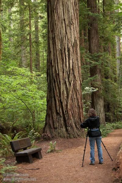 Lynda photographing Coastal Redwoods (6/30/2008, Stout Grove loop trail, Jedediah Smith Redwoods SP, Redwoods trip)