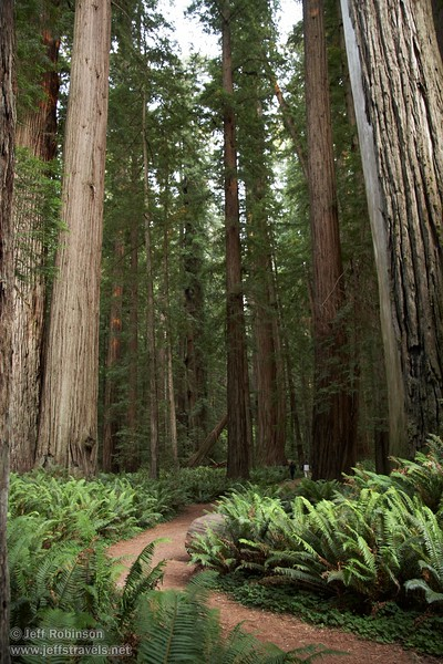 Coastal Redwoods by fern-lined trail (6/30/2008, Stout Grove loop trail, Jedediah Smith Redwoods SP, Redwoods trip)