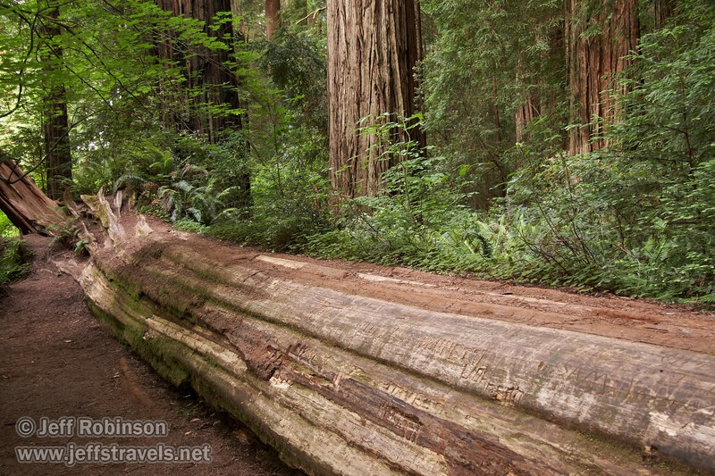 Fallen Coastal Redwood acting as a nurse log (6/30/2008, Stout Grove loop trail, Jedediah Smith Redwoods SP, Redwoods trip)