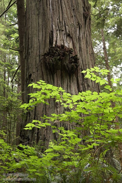 Growth on a Coastal Redwood with backlit green foliage (6/30/2008, Howland Hill Road, Jedediah Smith Redwoods SP, Redwoods trip)